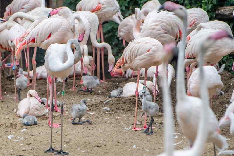 Húsz flamingófióka kelt ki a Budapesti Állatkertben